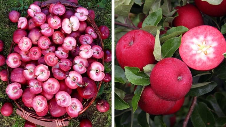 Unde se găsesc faimoasele mere Red Love, cu pulpa roșie și extrem de bogate în antioxidanți