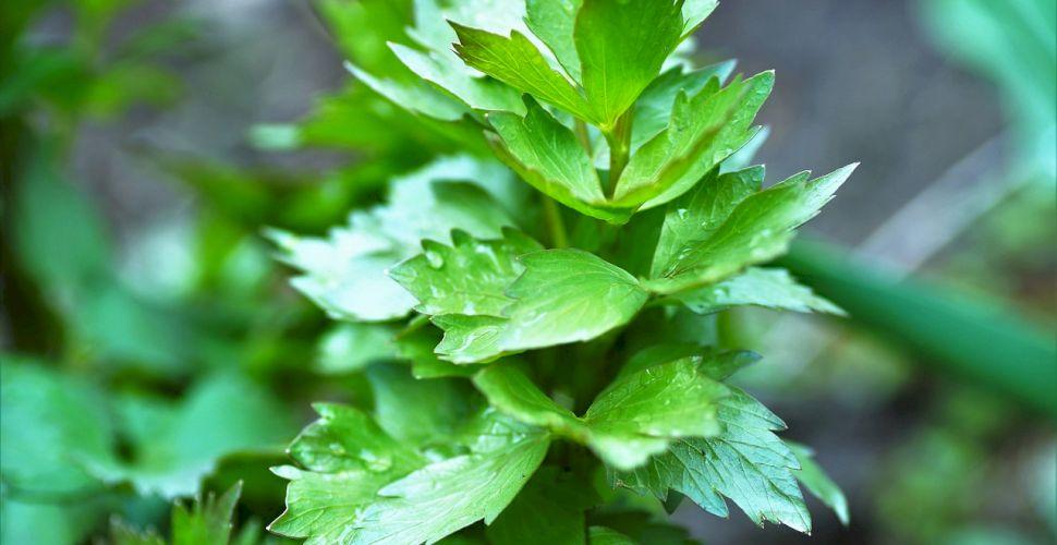 Leușteanul – plantă aromatică și terapeutică