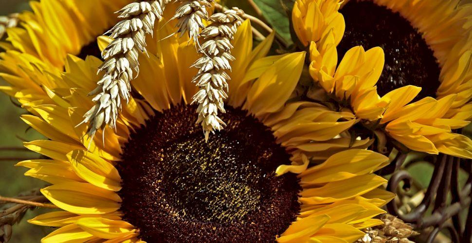 Sărbătoare 8 iulie: Sfântul Procopie veghează culturile și ferește recoltele de vremea rea. Ce tradiții se țin