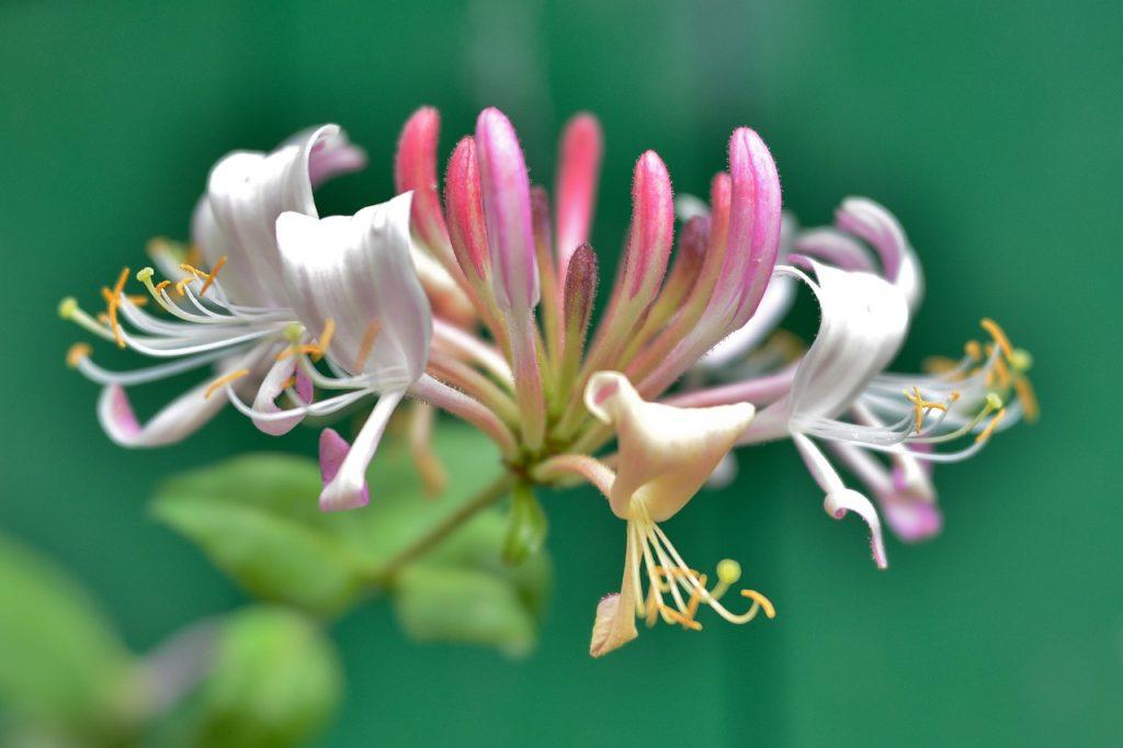 Mâna Maicii Domnului, o plantă cu proprietăți tămăduitoare. Care sunt beneficiile caprifoiului