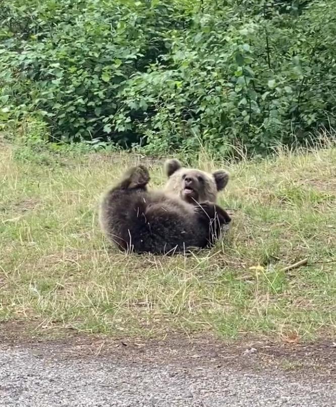 Delia, celebra artistă, a filmat 13 urși în doar 20 de minute, în zona barajului Vidraru